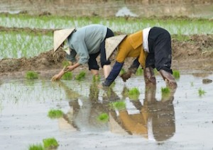 Asia-rice planting-